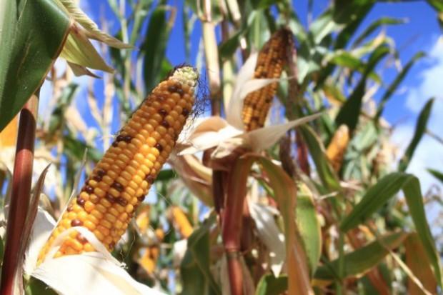 Kukurydza ziarnowa gotowa do zbioru