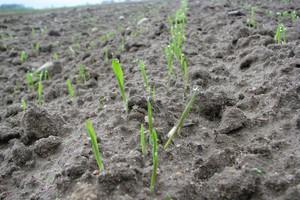Terminowe siewy zbóż ozimych