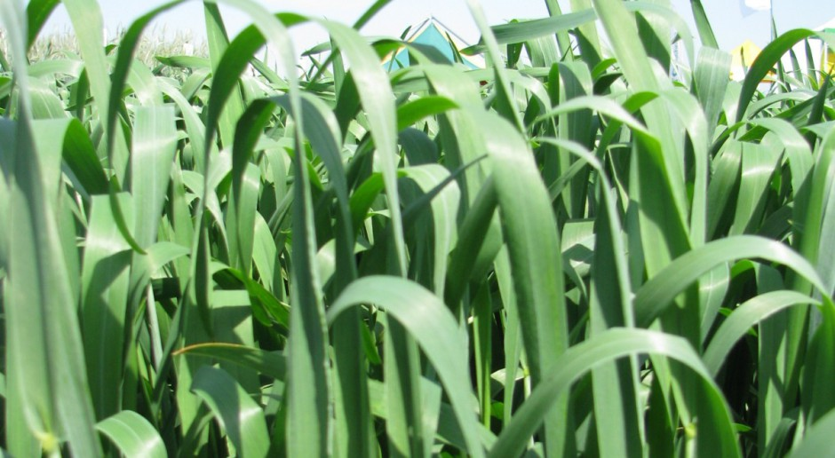 Plon pszenicy jarej a odmiany