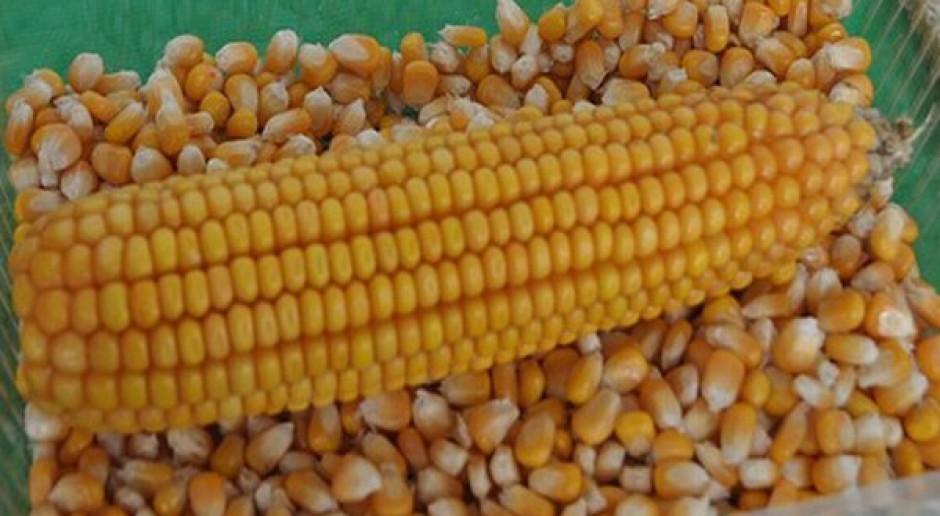Ziarno kukurydzy o średniej wilgotności 35-40 proc.