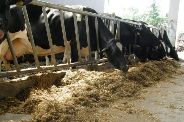 Modele żywienia krów zasuszonych