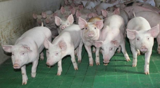 Konkurencja wpływa na szacowanie wartości hodowlanej