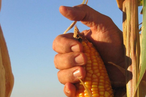 Kukurydza w USA najtańsza od 3 lat!