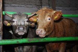 ARR: Żywiec wieprzowy i wołowy nadal będzie drogi