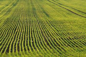 Mniejsze zasiewy pszenicy ozimej na Ukrainie