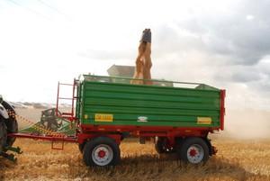 Niskie ceny pszenicy zniechęcają do jej sprzedaży