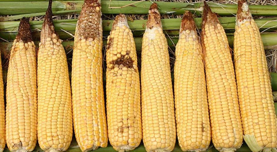 Odbicie kukurydzy, ale ceny bardzo niskie