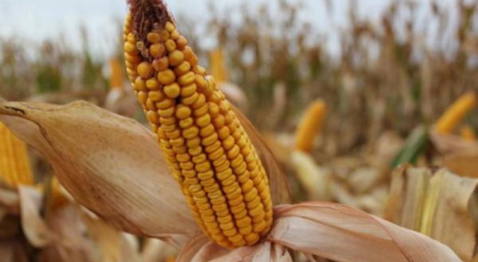 Kukurydza w USA najtańsza od sierpnia 2010
