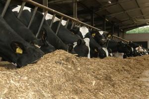 Unikaj stłoczenia krów w budynku