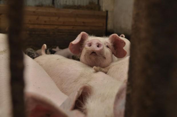 Wsparcie uprawy roślin białkowych wpłynie na odbudowę pogłowia świń