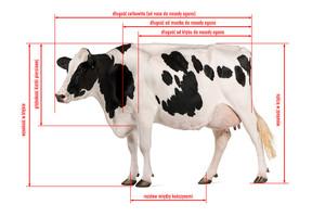 Stanowiska dla krów w oborze wolnostanowiskowej