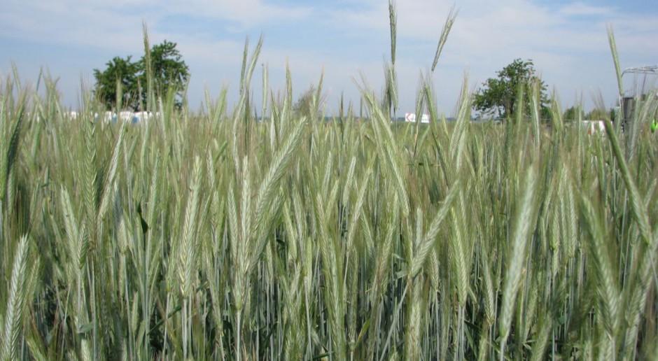 Analiza odmian pszenżyta i żyta