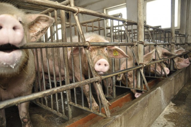 Spór o przemysłowe fermy zwierząt