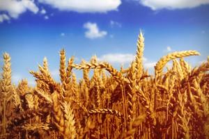 Po raporcie USDA zboża potaniały