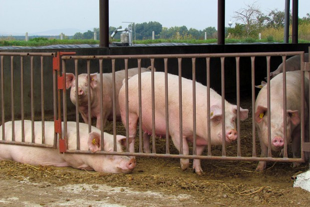 Wielkość stada świń przekłada się na opłacalność