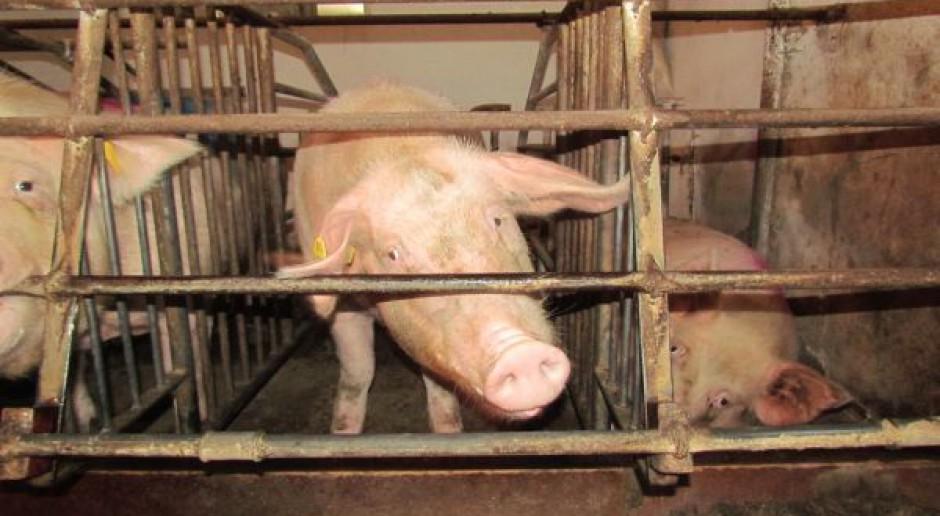 2013 r. z mniejszą produkcją świń w UE