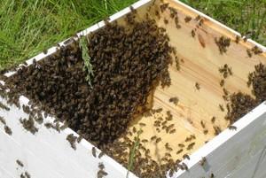 Czy zabraknie zapraw owadobójczych w rzepaku?