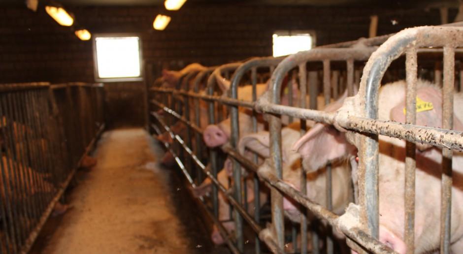 Fermy świń ograniczają szanse gospodarstw rodzinnych