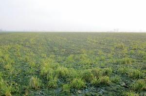 Samosiewy zbóż w rzepaku