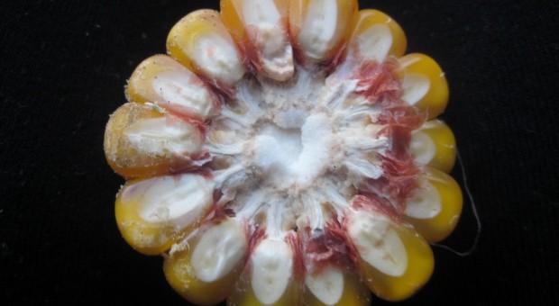 Czy będzie niedobór nasion mieszańców kukurydzy