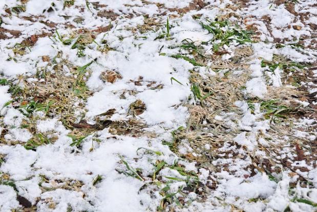 Pleśń śniegowa rozwija się już jesienią