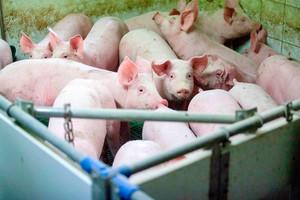 Niezbędne w okresie wzrostu i rozwoju świń