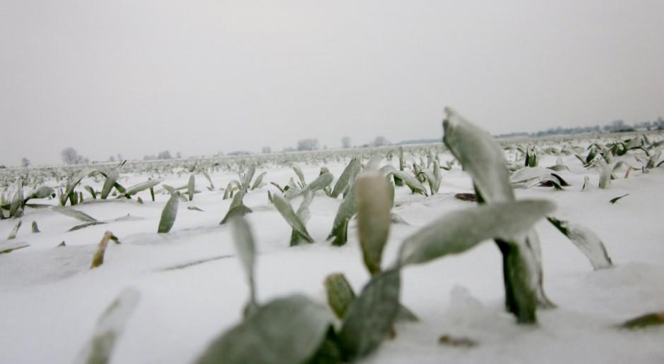 Wpływ pokrywy śnieżniej na przezimowanie roślin