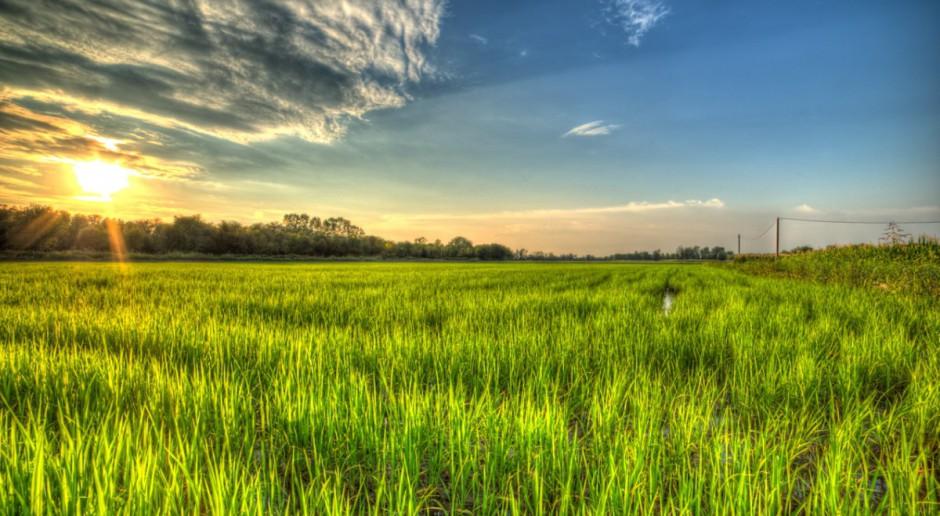 Produkcja ryżu w UE na stabilnym poziomie