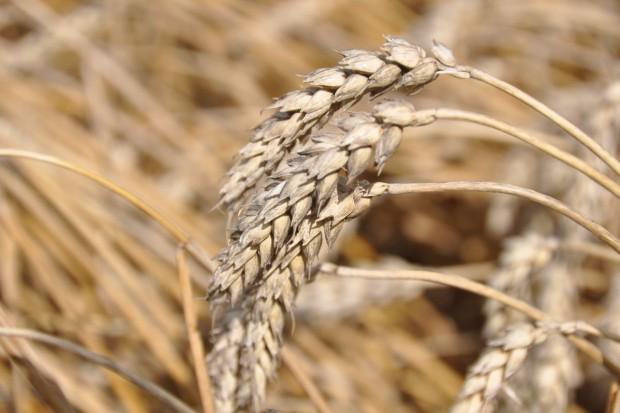 Intensywna ochrona  pszenicy ozimej