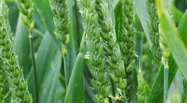 Poprawki herbicydowe w oziminach
