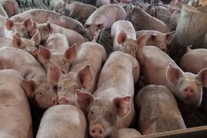 KE: Rosyjski zakaz importu wieprzowiny z UE nieproporcjonalny