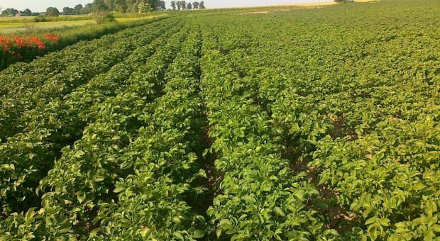 Nowe odmiany ziemniaka w Krajowym Rejestrze