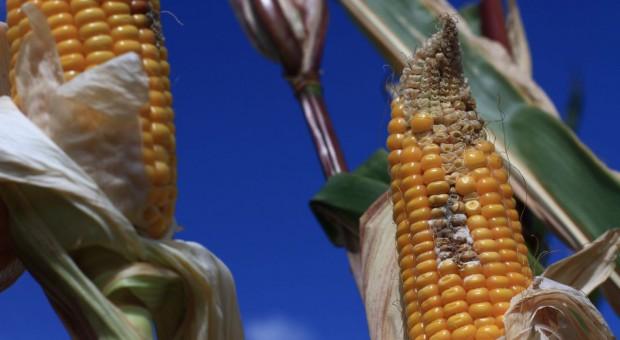 Pierwszy fungicyd do ochrony kukurydzy