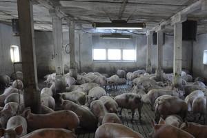ASF, zakaz eksportu... i polityka nie schodzą z ust rolników