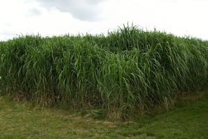 Wysoki zysk z miskantusa na biomasę