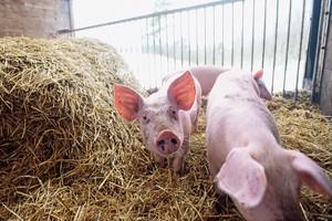Litewscy producenci trzody szacują straty
