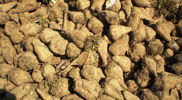 Coraz lepsze wyniki plantatorów buraków