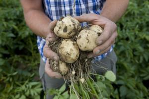 Najwcześniejszy ziemniak, oto odmiany