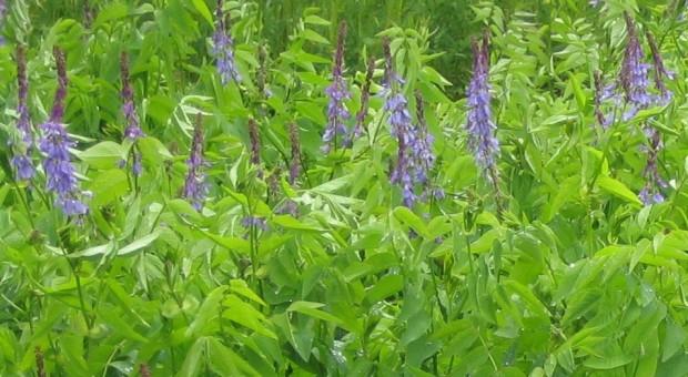Zarejestrowano nowe rośliny pastewne
