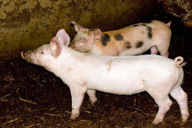 Litwa zaostrza kontrolę handlu wieprzowiną z Polską