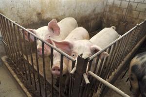 Lubelskie:  Zaostrzono rygory dla hodowców trzody