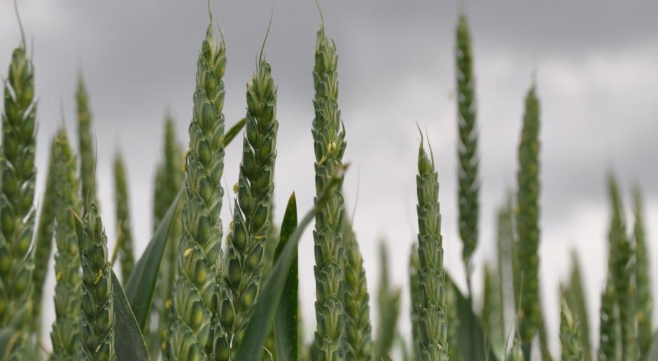 Ceny zbóż za oceanem nadal rosną w Paryżu korekta