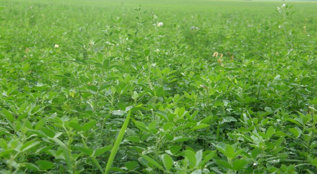 Lucerna – tony zielonego białka