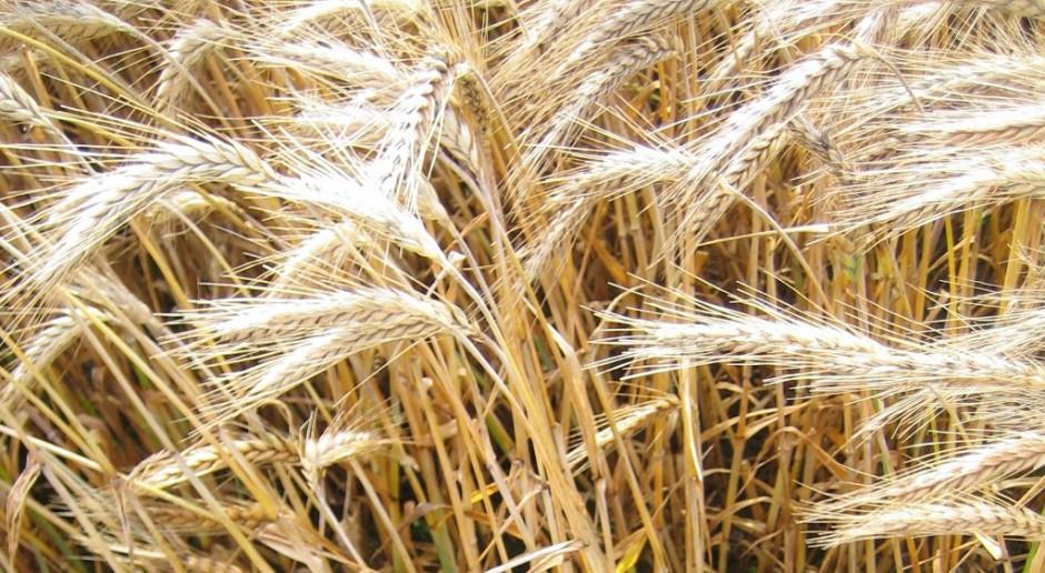 COBORU wstrzymało decyzję o wpisaniu do KR 16 nowych odmian zbóż ozimych