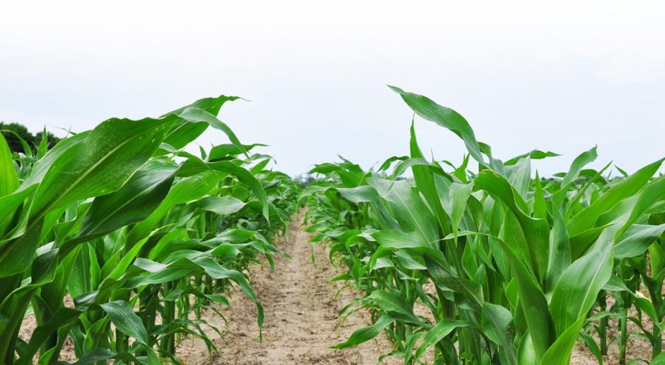 Apetyt kukurydzy na mikroelementy