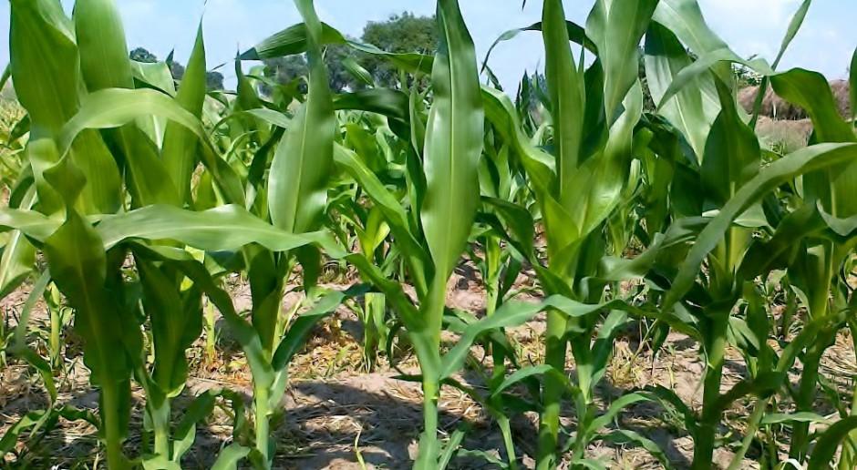 Czy utrzyma się powierzchnia 1 mln hektarów kukurydzy?
