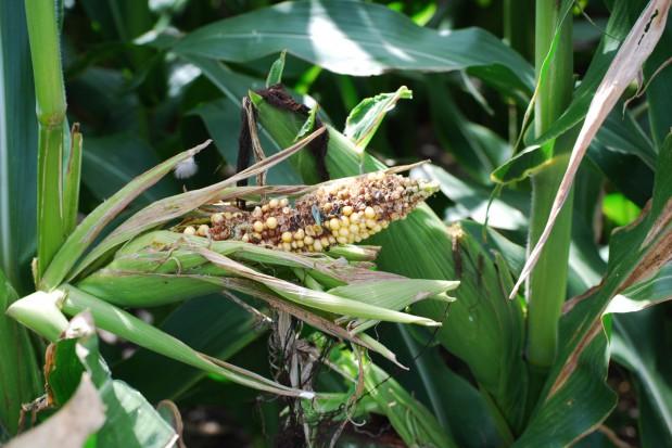 Pierwszy w Polsce fungicyd w kukurydzy
