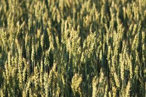 Nowy rekord notowań pszenicy w Chicago