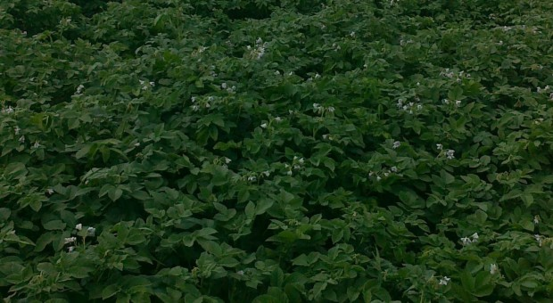 Nowości wśród odmian ziemniaków