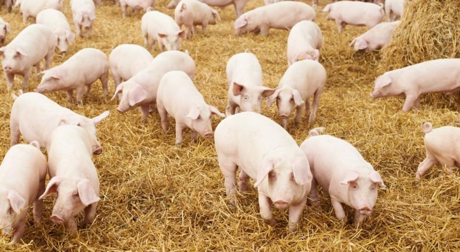 Odbiór świń ze spędu
